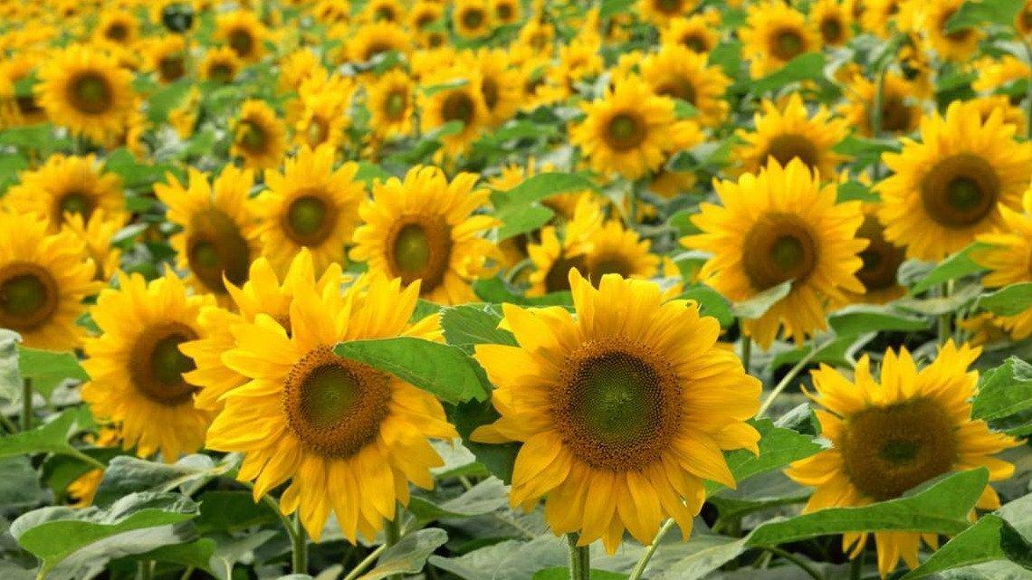 農田綠肥 花海 稻田綠肥用 向日葵 太陽花種子 3公斤特價 540元