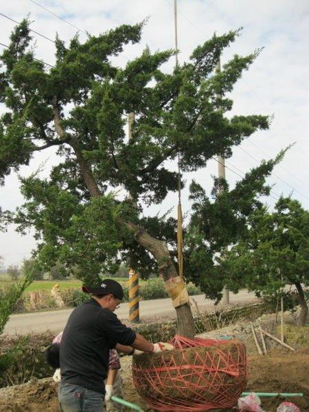 (青山園藝)真柏.頭徑約15~18cm.高度2.5~3米.彎曲有型 黑松桂花龍柏油杉含笑羅漢松雪松