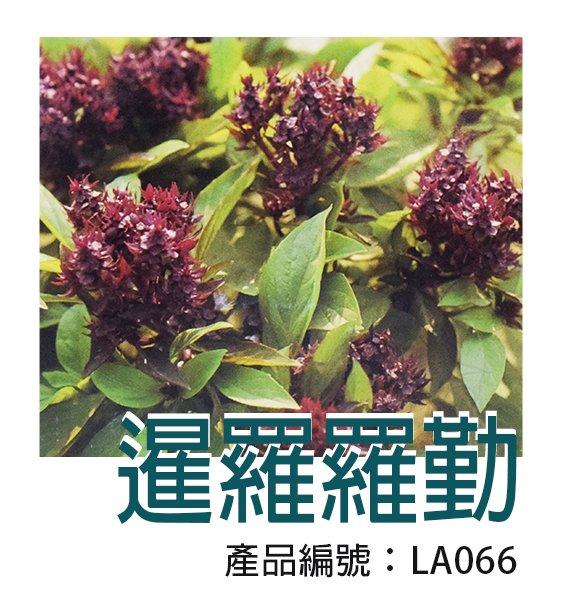 *滿1200免運*【LA066】DIY種子栽種 成就滿滿~暹羅羅勒 【園丁花圃】