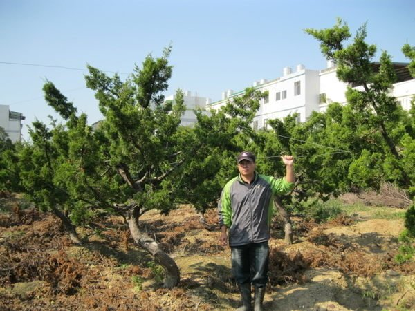 (青山園藝)真柏.米俓10~15cm高度2.5~4米 黑松油杉雪松羅漢松象牙木紫檀桂花落羽松
