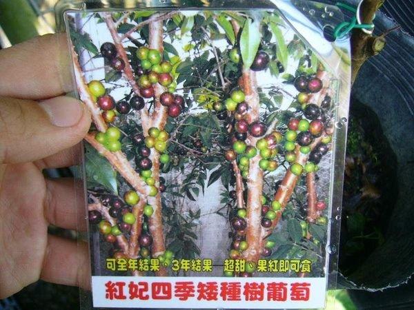 ╭*田尾玫瑰園*╯新品種樹種-(紅妃矮種四季樹葡萄)3.5吋黑袋(嫁接苗)