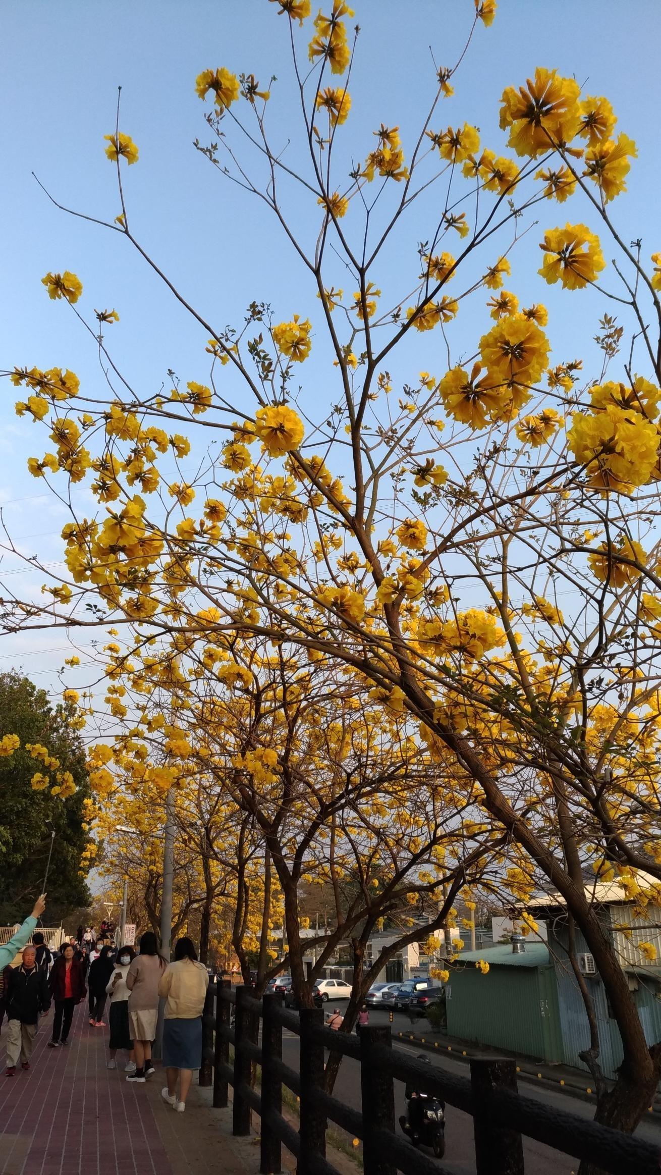 哇沙米園藝¥黃金風鈴木(5棵=$200),高30-40公分   一箱可入30棵。