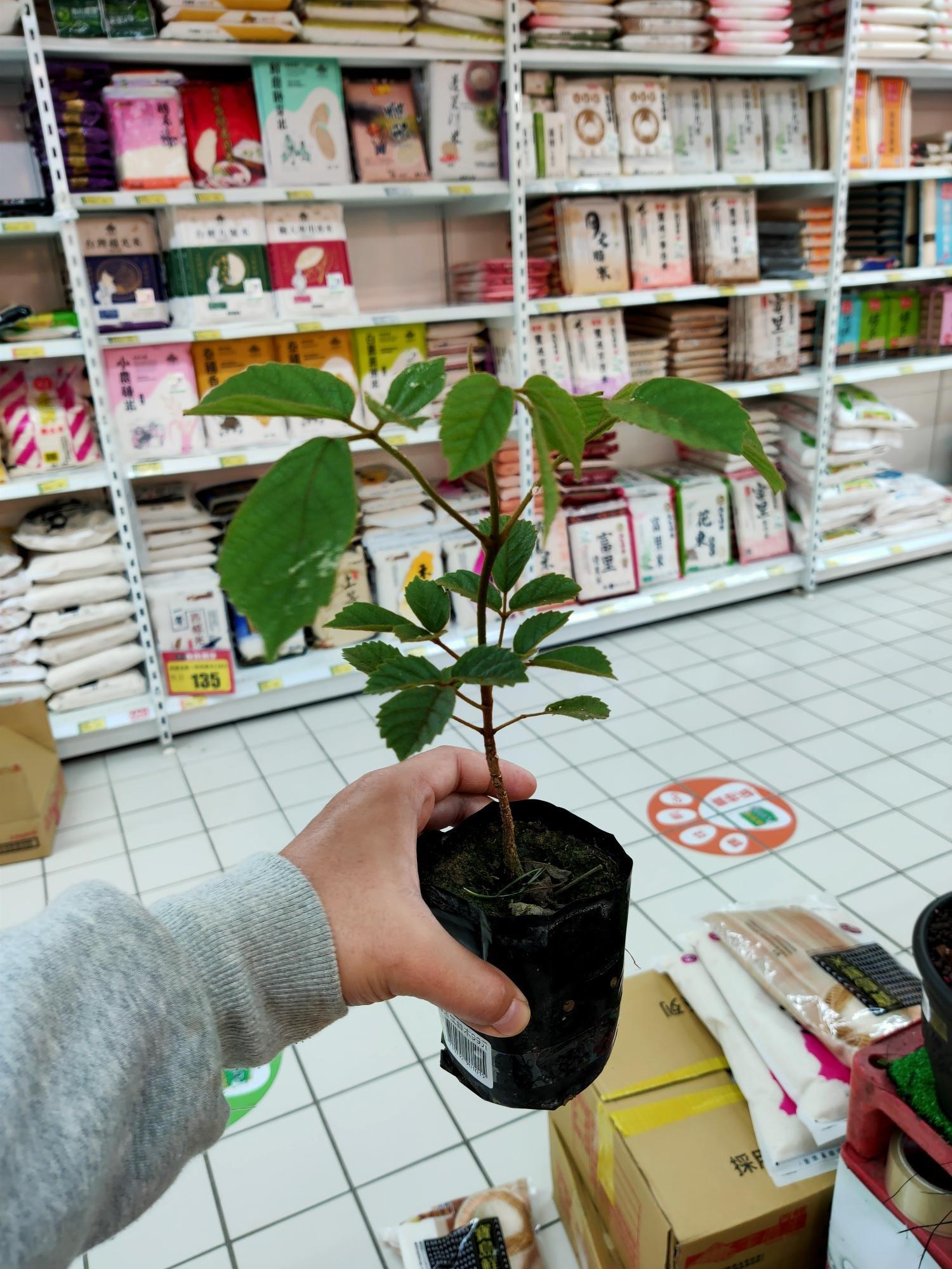 黃金風鈴木盆栽 桃園愛買內園藝區現貨供應 一律自取不寄送