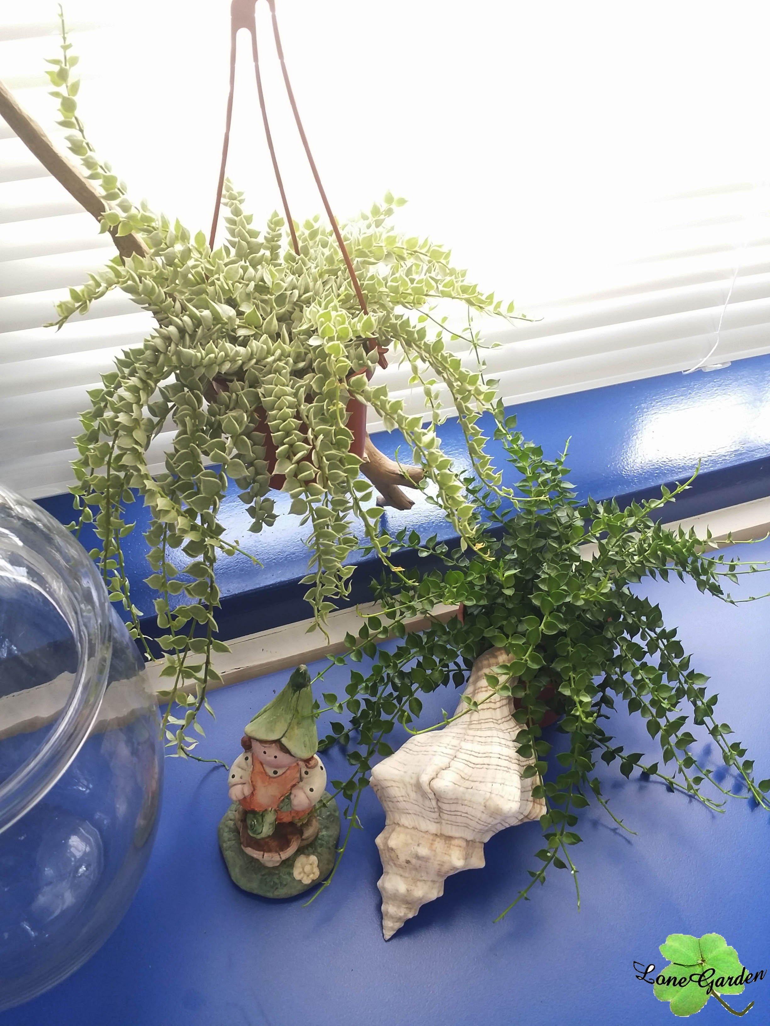 ~長榮~~【百萬心】3吋 觀葉植物 綠色簾幕瀑布 室內植物