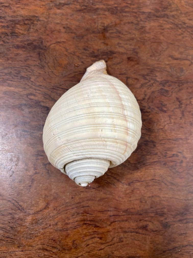 海螺貝殼  1大1小