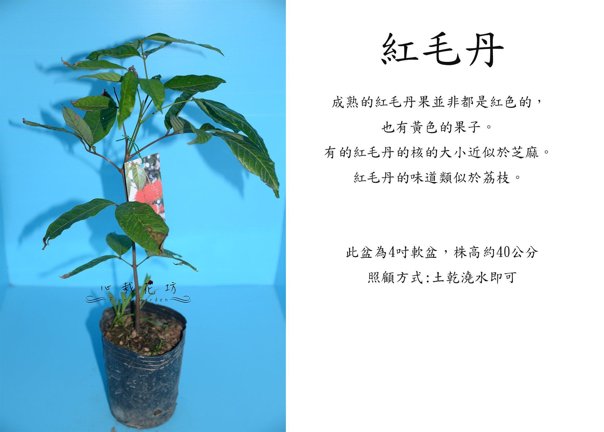 心栽花坊-紅毛丹/水果苗/未嫁接/售價180特價150