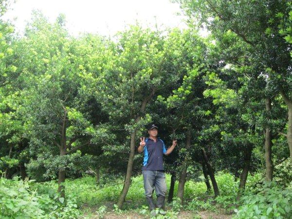 (青山園藝).蘭嶼羅漢松.羅漢松.高度2~7米.米俓8~15cm. 黑松真柏桂花油杉龍柏含笑雪松紅檜