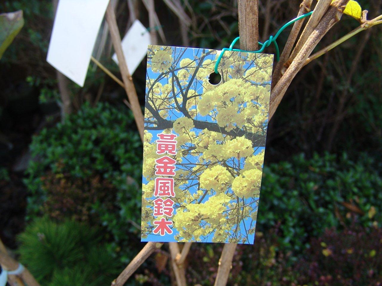 ╭*田尾玫瑰園*╯庭園用樹-(黃金風鈴木)非黃花風鈴木