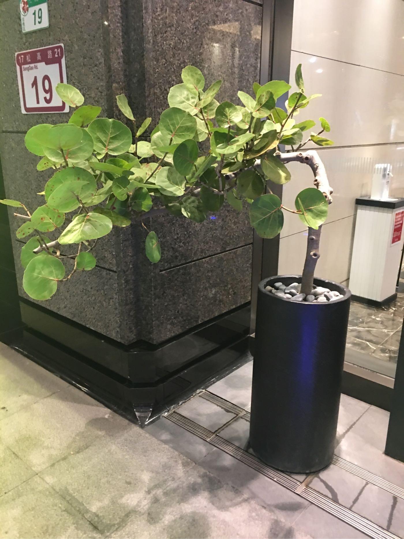 海葡萄樹盆栽 24小時外送 台北花店
