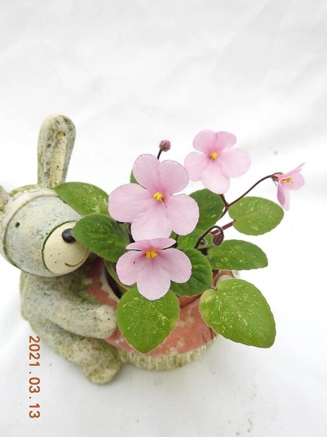 堤緣花語陶-淨化室內空氣植物-非洲紫羅蘭 Midget lillian