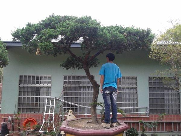 庭園樹-大型高腳真柏1(另售龍柏竹柏五葉松梅子樹雪松羅漢松櫻花雞蛋花台灣油杉)