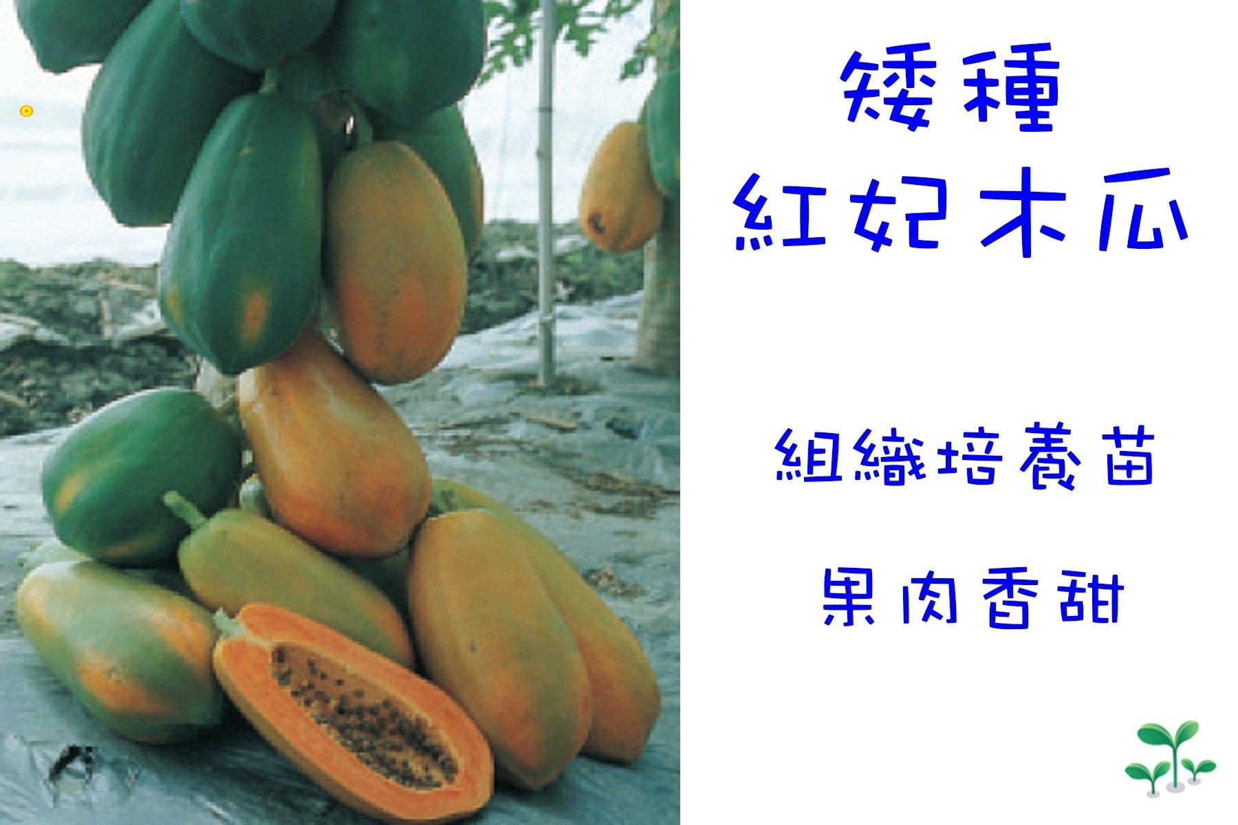紅妃木瓜 組織培養苗 種苗