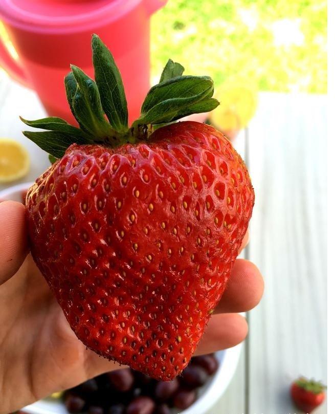 草莓苗 現今最大果品種 巨無霸草苺報到 推廣價只要30元不到