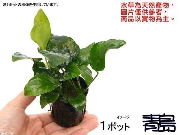 。。。青島水族。。。臺灣天然水草------【陰性】小榕==(盆)