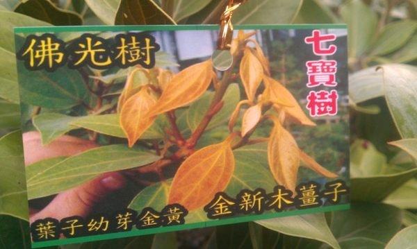 樹苗--佛光樹 6吋盆  ( 金新玉薑子 , 七寶樹 )
