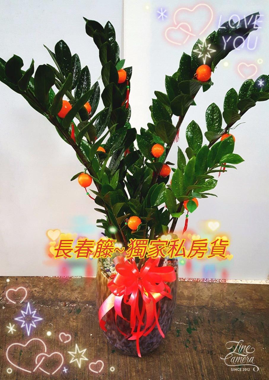 前衛,豹紋款金錢樹,立地式盆栽(高110) 1300