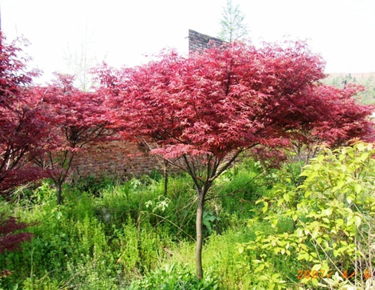 【旭昇景觀樹園藝行】紅楓高2-3米.米徑7-9公分.黑松桂花油杉赤松九芎含笑羅漢松雪松