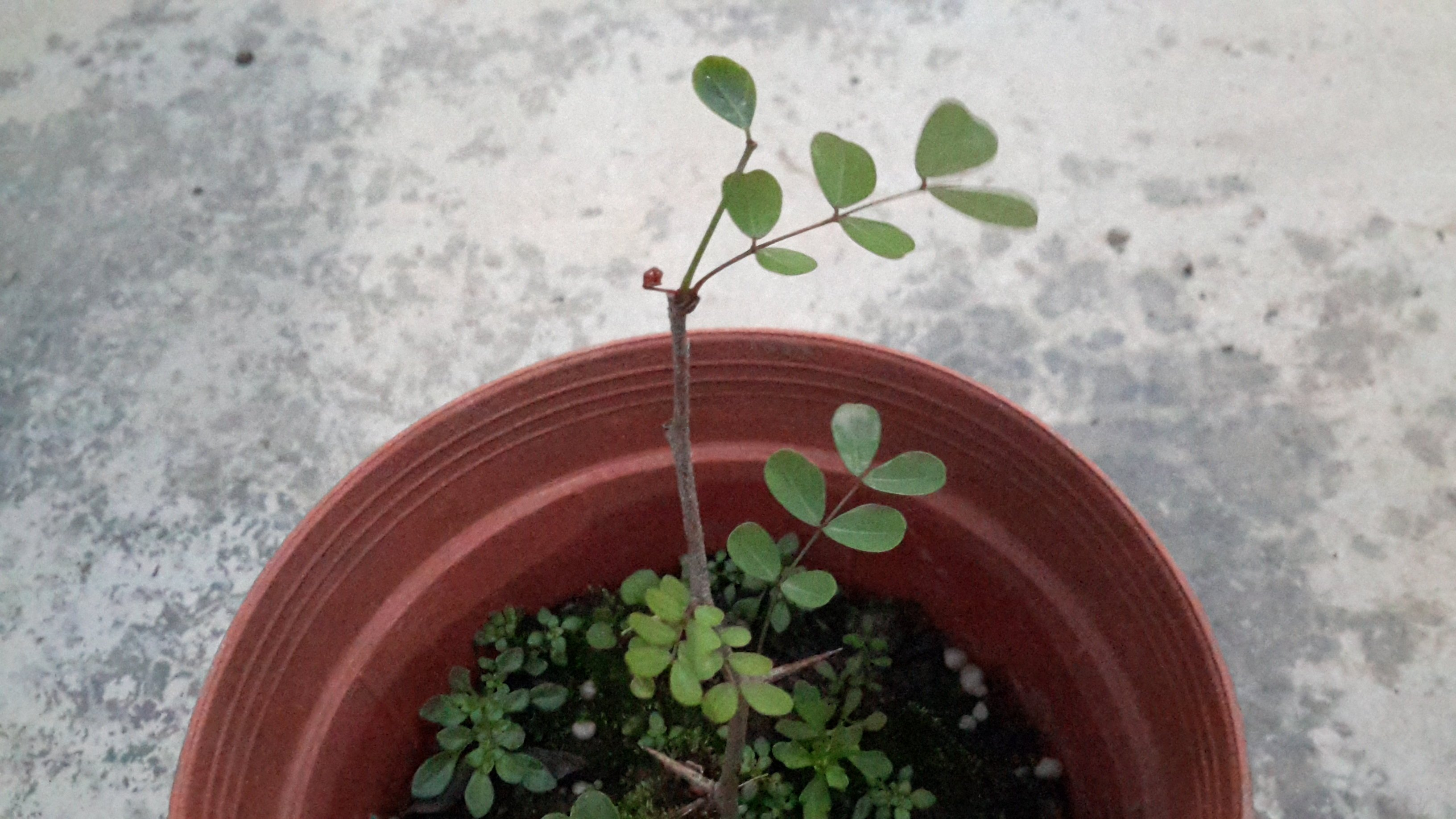 慕花坊  墨水樹 藥用植物 藍色染料