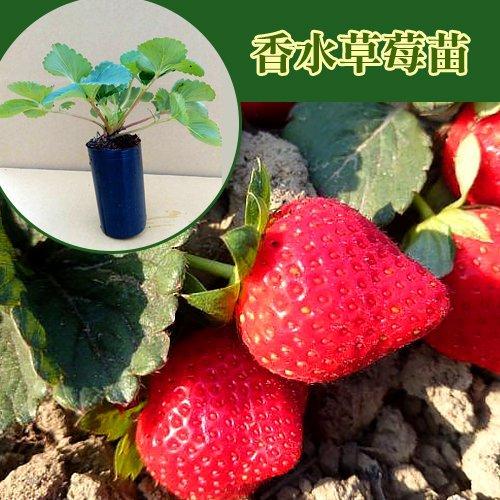 草莓苗 果大飽滿!強勢品種香水草莓苗 穴植管草莓苗 (推廣價最低一棵不到30元!)
