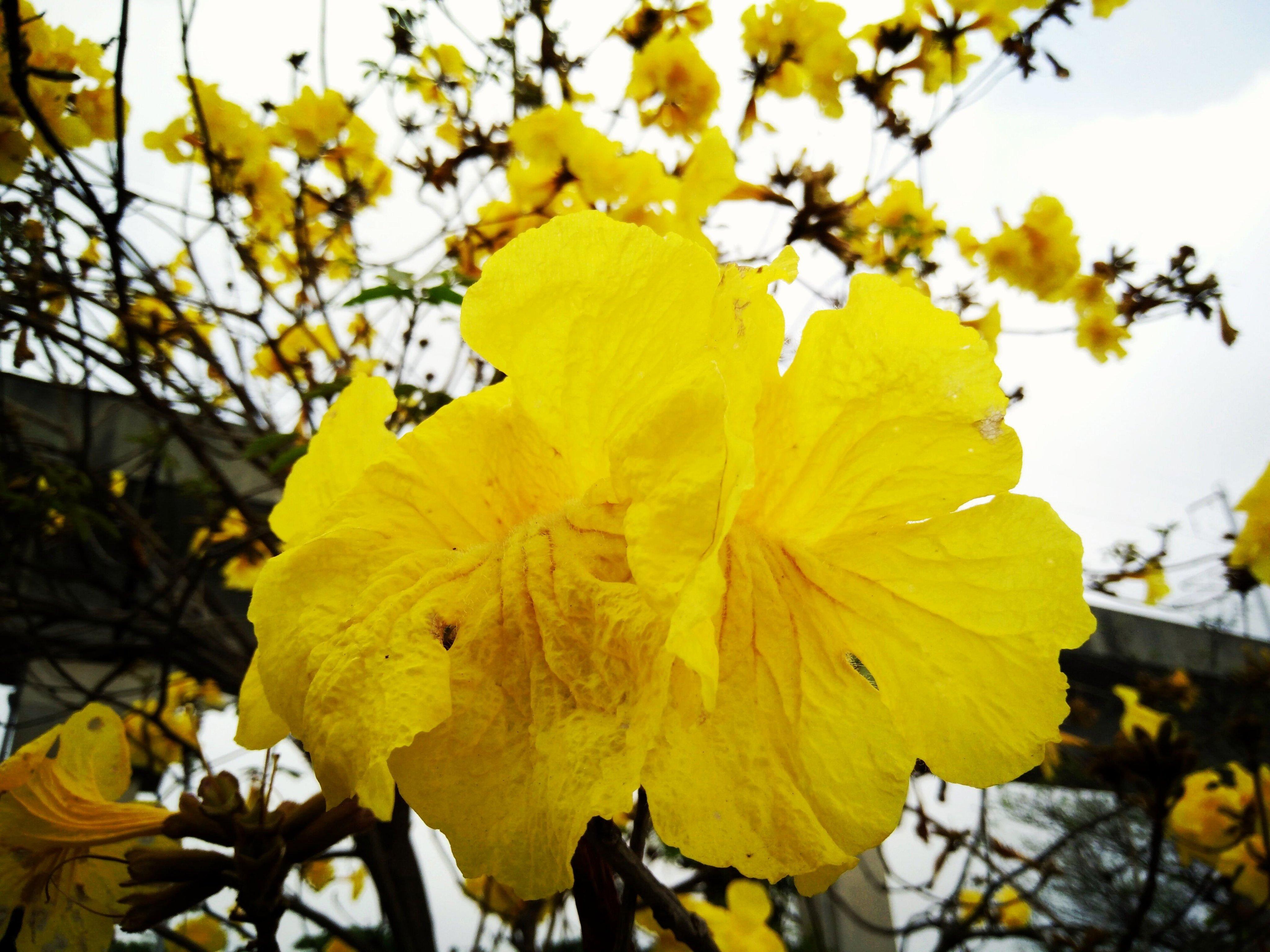 元茂園藝中壢高鐵南路園區 黃金風鈴木 小尺寸盆栽 北部地區可正常開花的品種,本商品可宅配
