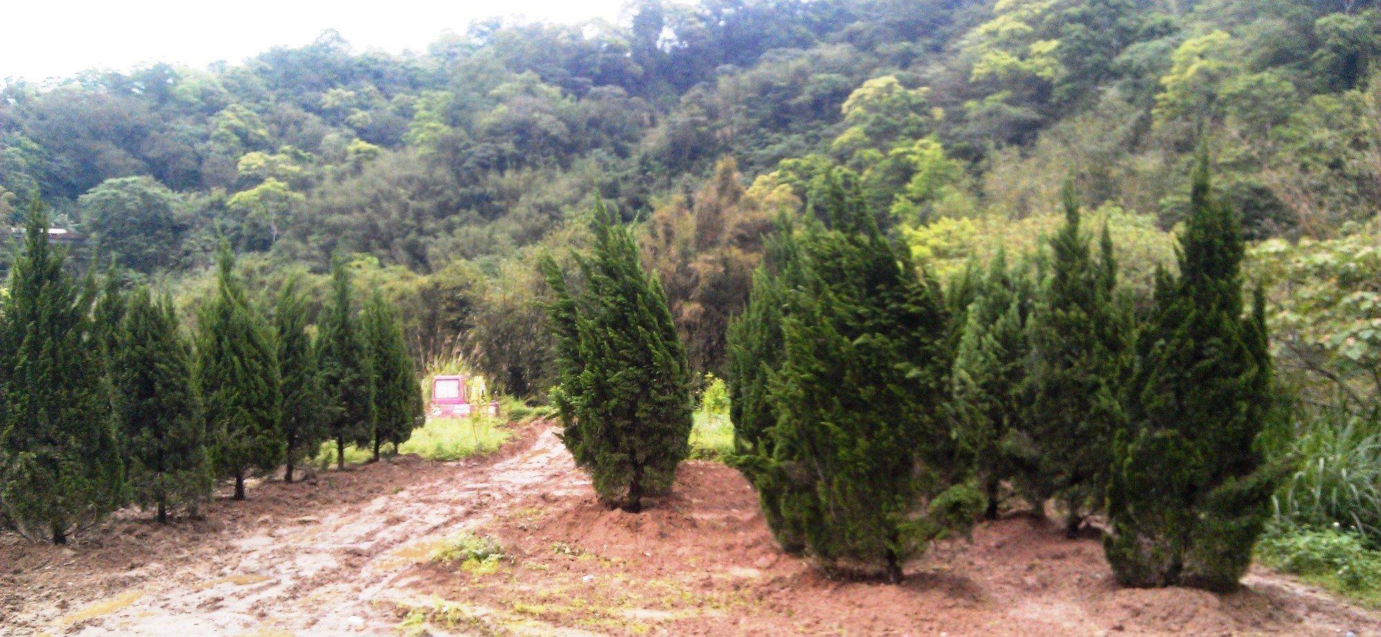 【旭昇景觀樹園藝行】龍柏樹高2.5-3米、直徑10-15公分.真柏羅漢松黑松桂花赤松
