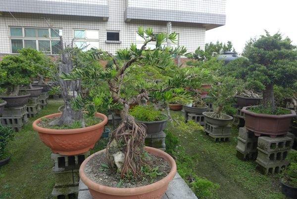 春花園藝*附石羅漢松.金鑽羅漢松.真柏.白水木 整型羅漢松