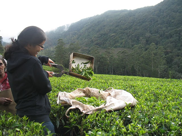 Pruning tea at the Woodbriar estate. The amused workers asked me to give up my job.