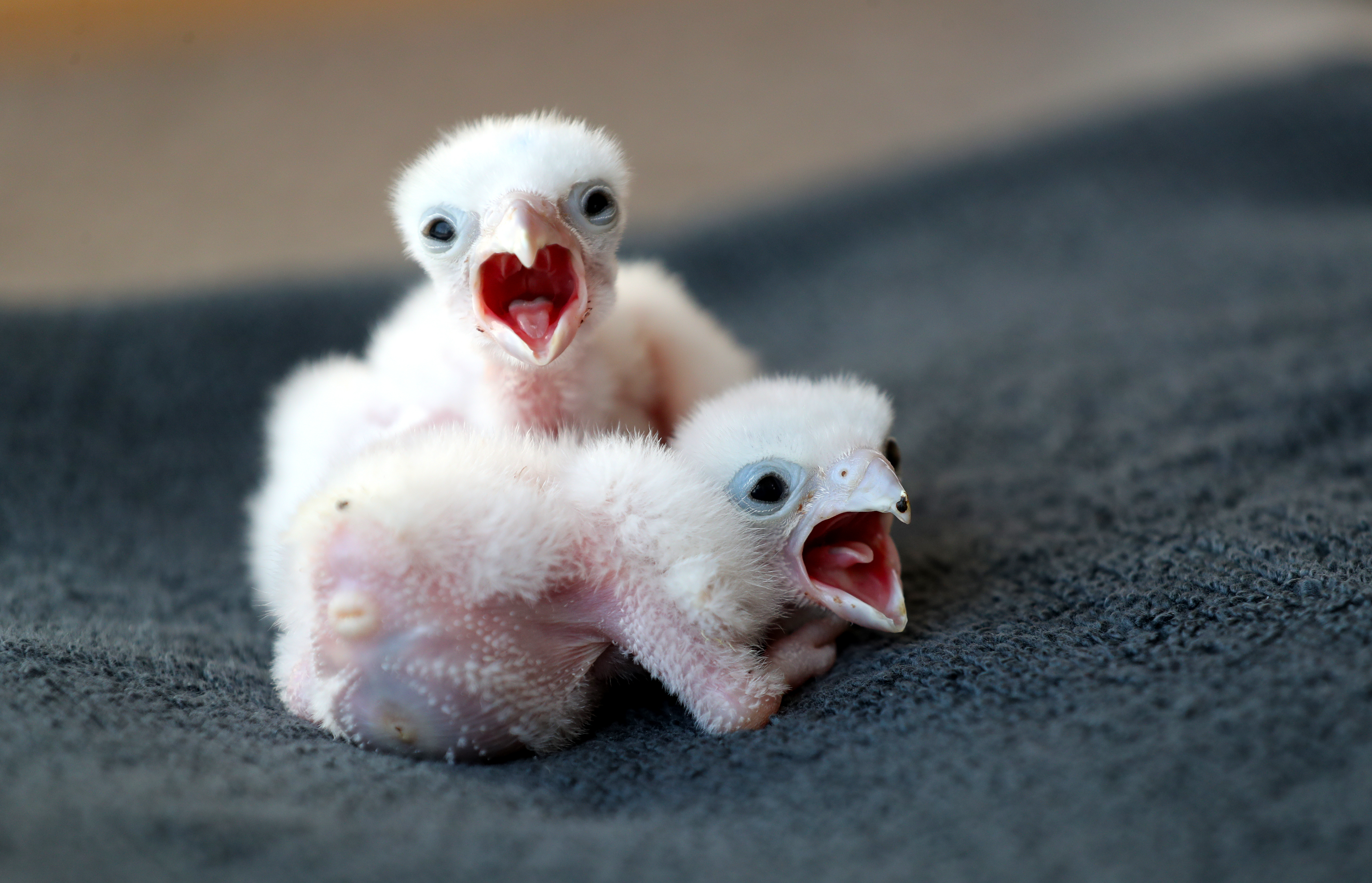 Baby Laggar falcons at The International Centre for Birds of Prey in Newent, after Prime Minister Boris Johnson has put the UK in lockdown to help curb the spread of the coronavirus.