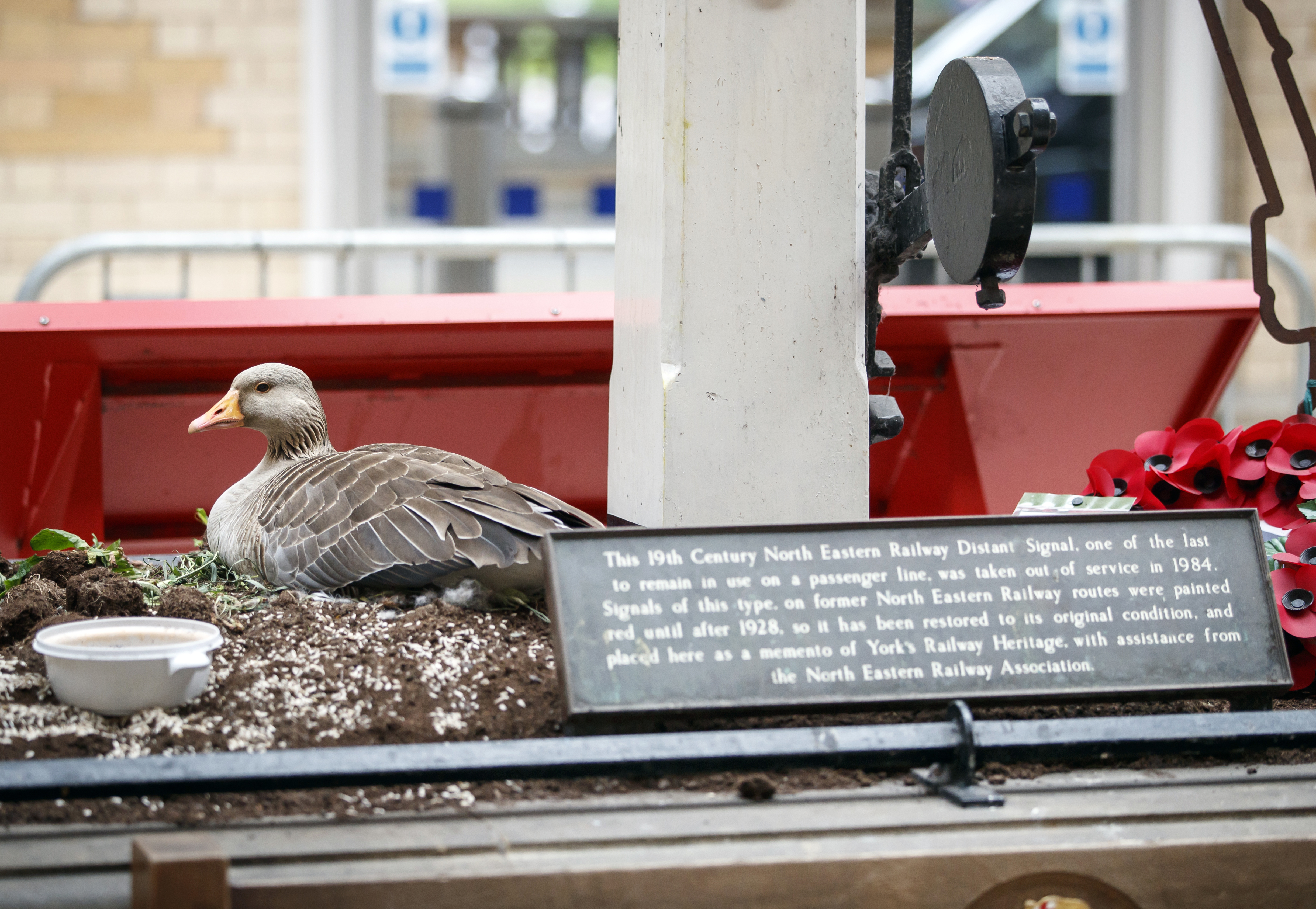 A goose sits on her four eggs after she took advantage of the lockdown and nested in York railway station, as the rest of UK continues in lockdown to help curb the spread of the coronavirus.