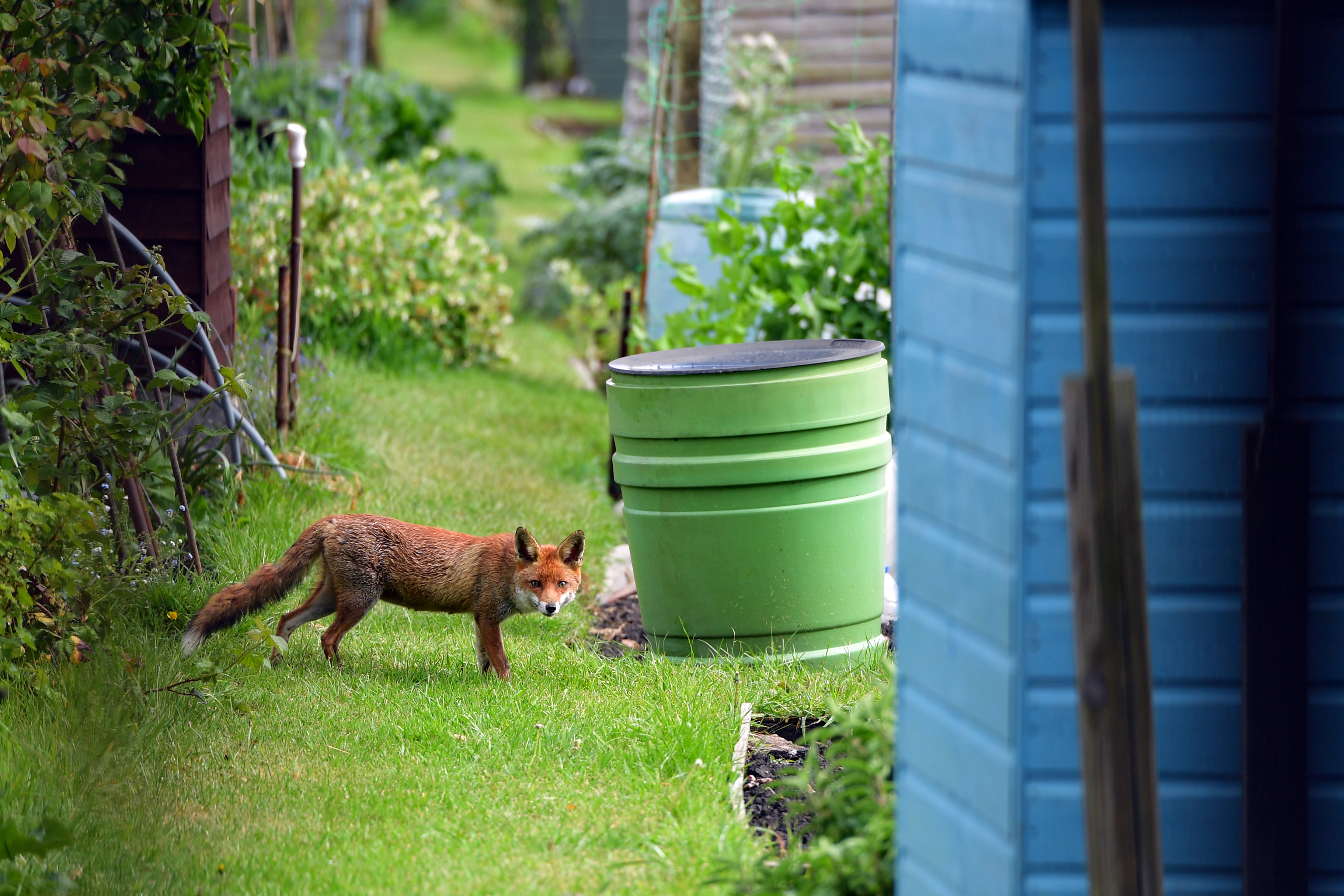 A fox enjoys an allotment to himself during an afternoon in Earlsfield as the UK continues in lockdown to help curb the spread of the coronavirus.