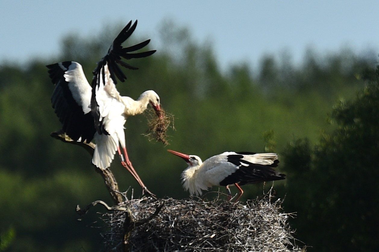 A pair of White Storks tend their nest near Horsham, southern England on May 18, 2020. - The White stork has been reintroduced to England after an absence of over 800 years. (Photo by Glyn KIRK / AFP) (Photo by GLYN KIRK/AFP via Getty Images)
