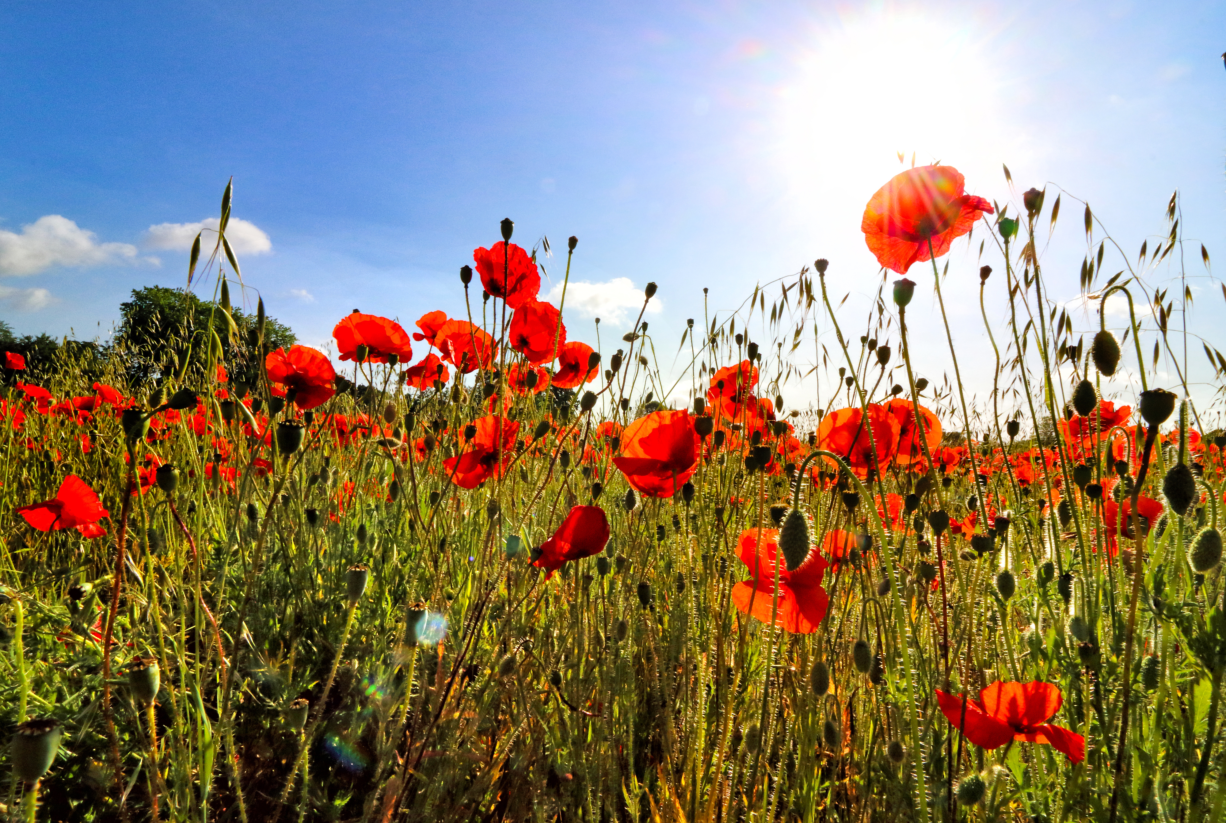 View of a field of poppies in the summer sunshine. (Photo by Keith Mayhew / SOPA Images/Sipa USA)