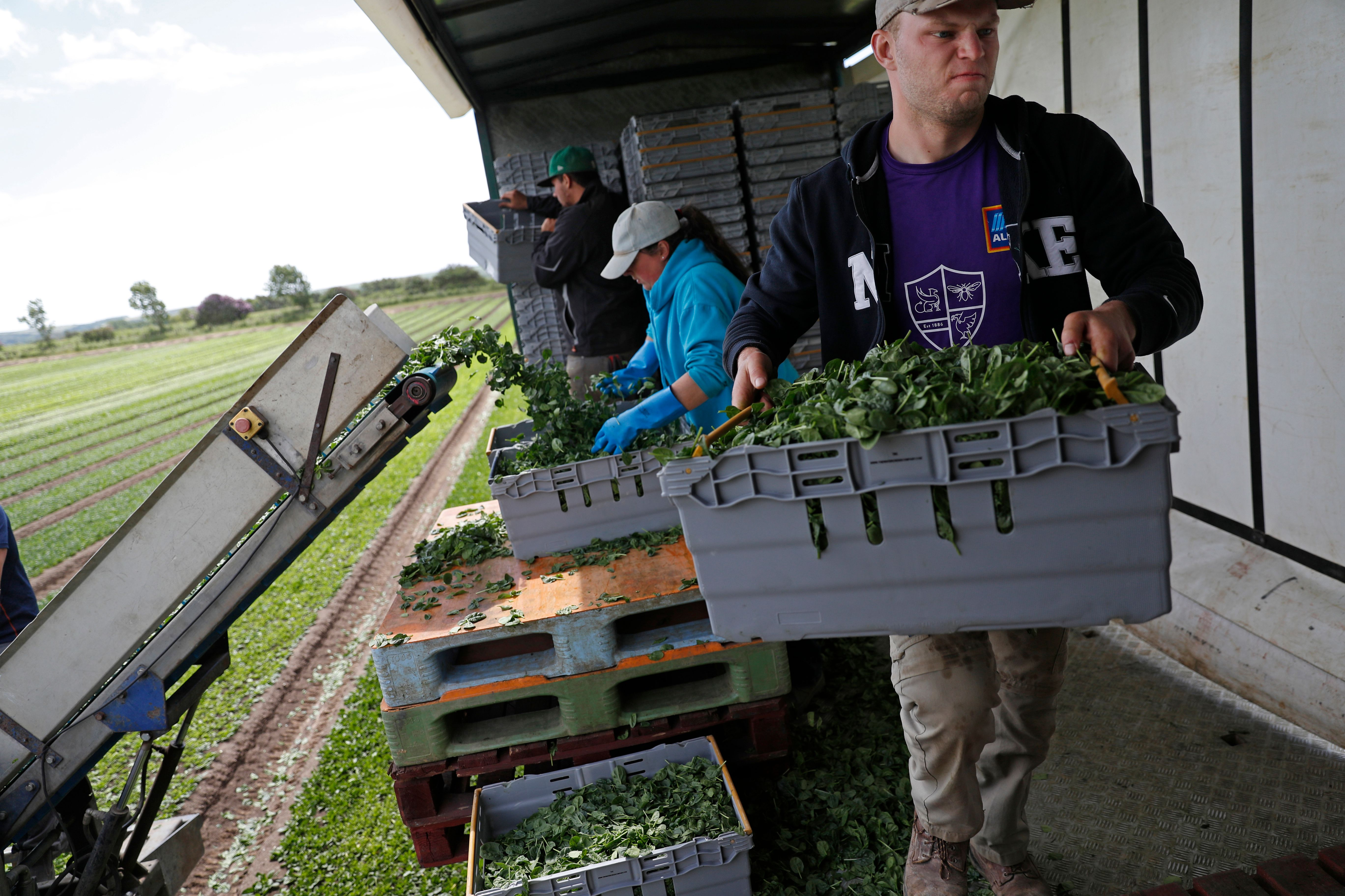 Jack Hargreaves (R) carries a full crate as the UK Seasonal Relief Team working for The Watercress Company looks on as they harvest spinach on farmland near Dorchester, in southern England on June 5, 2020, during the novel coronavirus COVID-19 pandemic. - The company have found it difficult to find staff since the Coronavirus pandemic, due to a shortage of seasonal workers from abroad, managing director Tom Amery said. (Photo by ADRIAN DENNIS / AFP) (Photo by ADRIAN DENNIS/AFP via Getty Images)