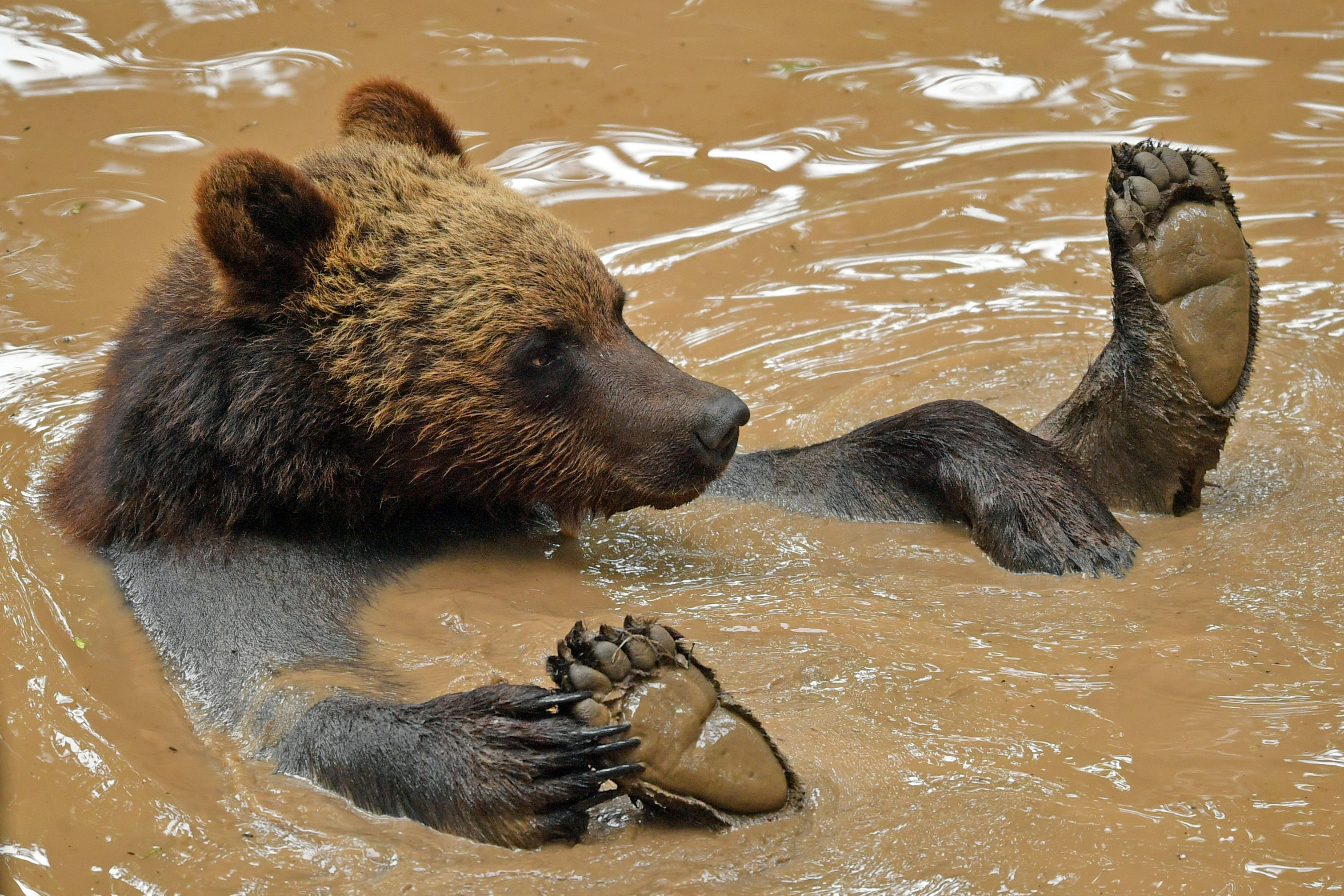 A bear plays in a pool as four European brown bears and five grey wolves which are living together in British woodland for the first time in Bear Wood, a new enclosure at Bristol Zoo's Wild Place project. (Photo by Ben Birchall/PA Images via Getty Images)