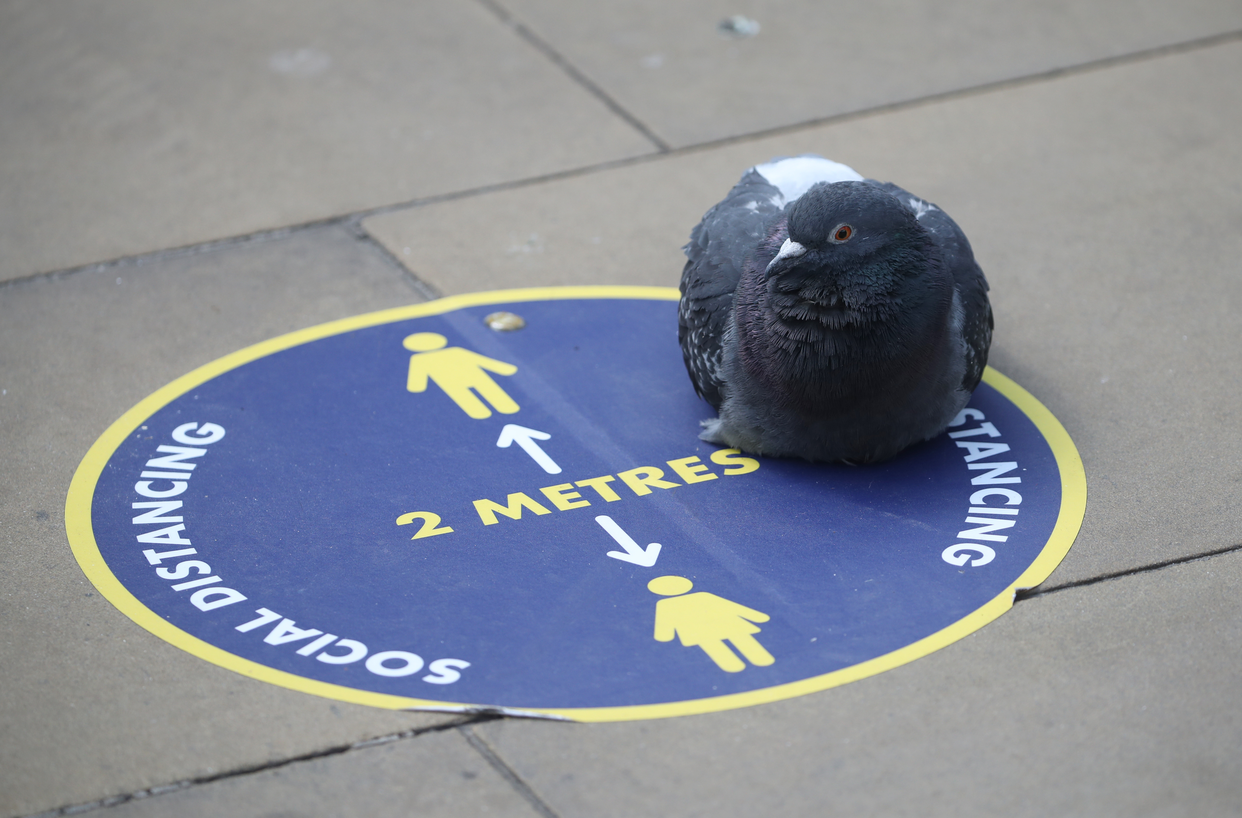 A pigeon sits on a social distance sign at Edinburgh Waverley Station as Scotland moves into phase one of the Scottish Government's plan for gradually lifting lockdown. (Photo by Andrew Milligan/PA Images via Getty Images)