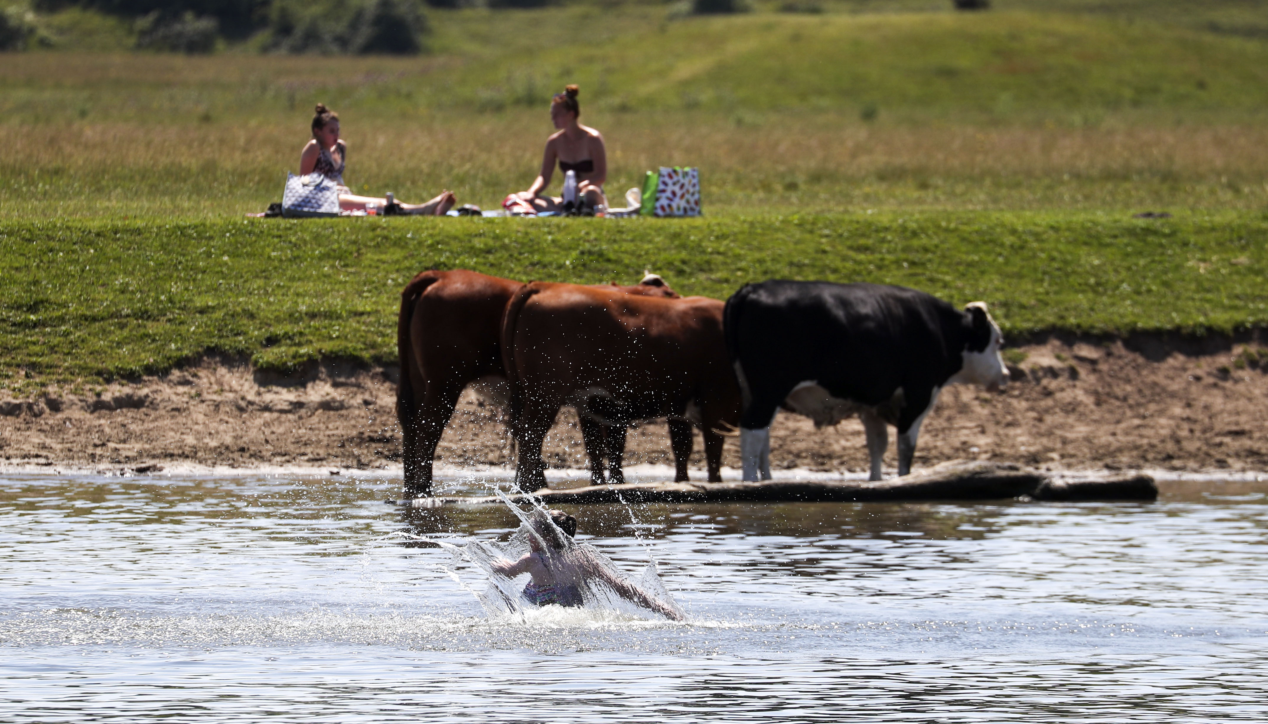 Cows use the River Thames to cool off in Bourne End, Bucks, as Thursday could be the UK's hottest day of the year with scorching temperatures forecast to rise even further.