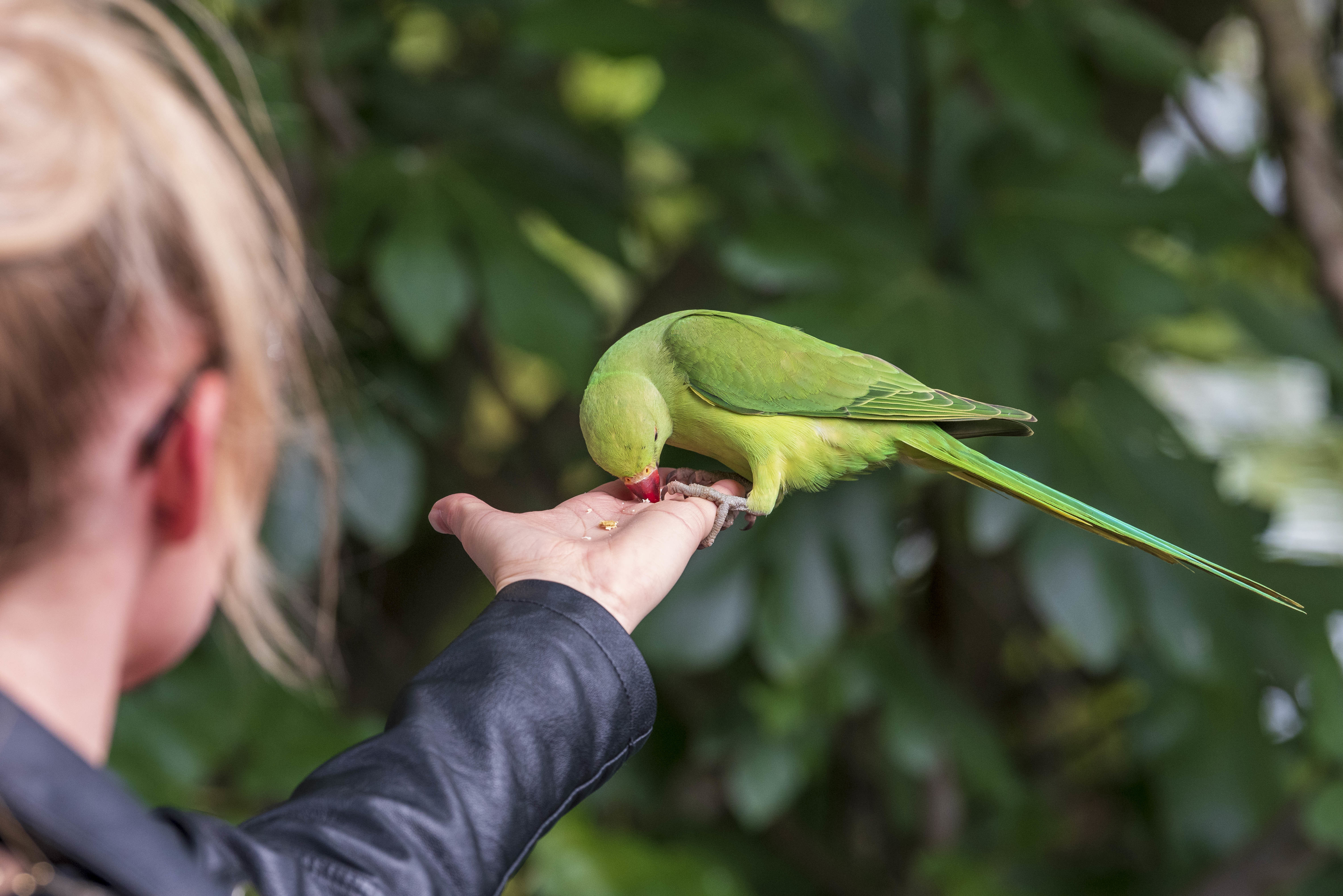 A woman feeds a Rose-ringed Parakeet on her outstretched arm at St James Park. (Photo by Dave Rushen / SOPA Images/Sipa USA)