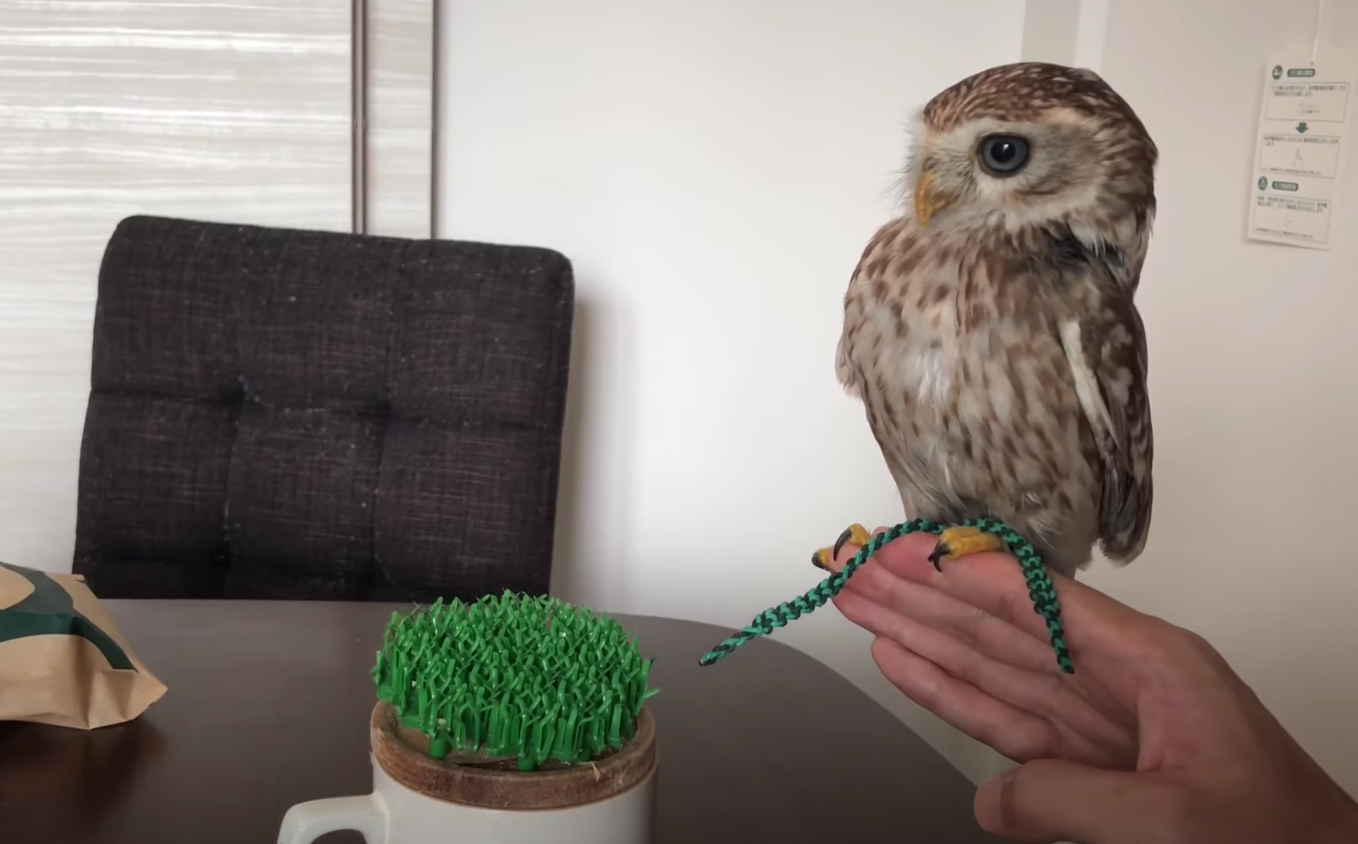Japanese Youtuber Streams The Life Of Adorable Pet Owl