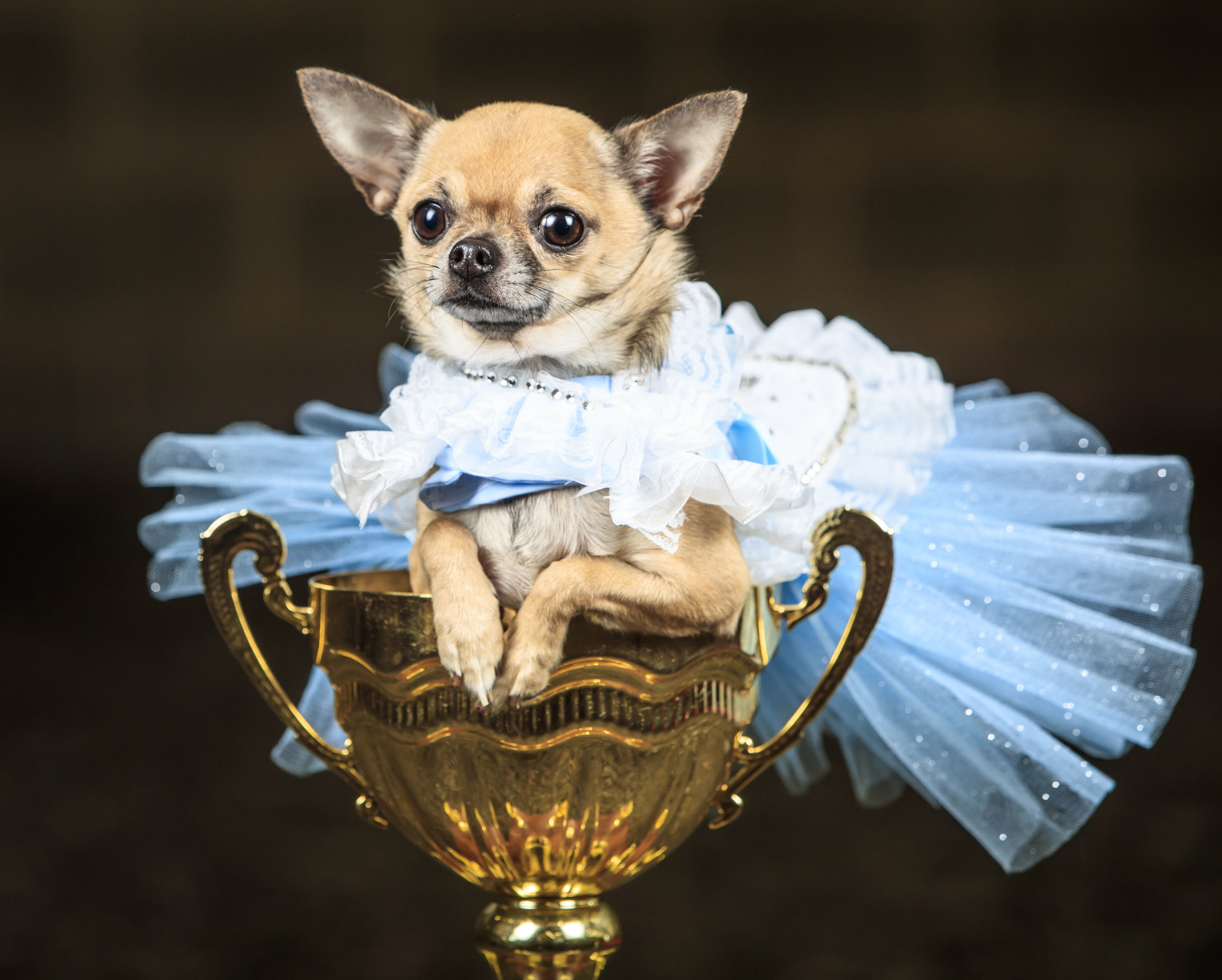 Dolly the Chihuahua dog dressed as Alice in Wonderland is photographed during an Alice in Wonderland and Charlie and the Chocolate Factory themed Furbabies Dog Pageant at Jodhpurs Riding School in Tockwith, North Yorkshire, Sunday Sept. 6, 2020. (Danny Lawson/PA via AP)