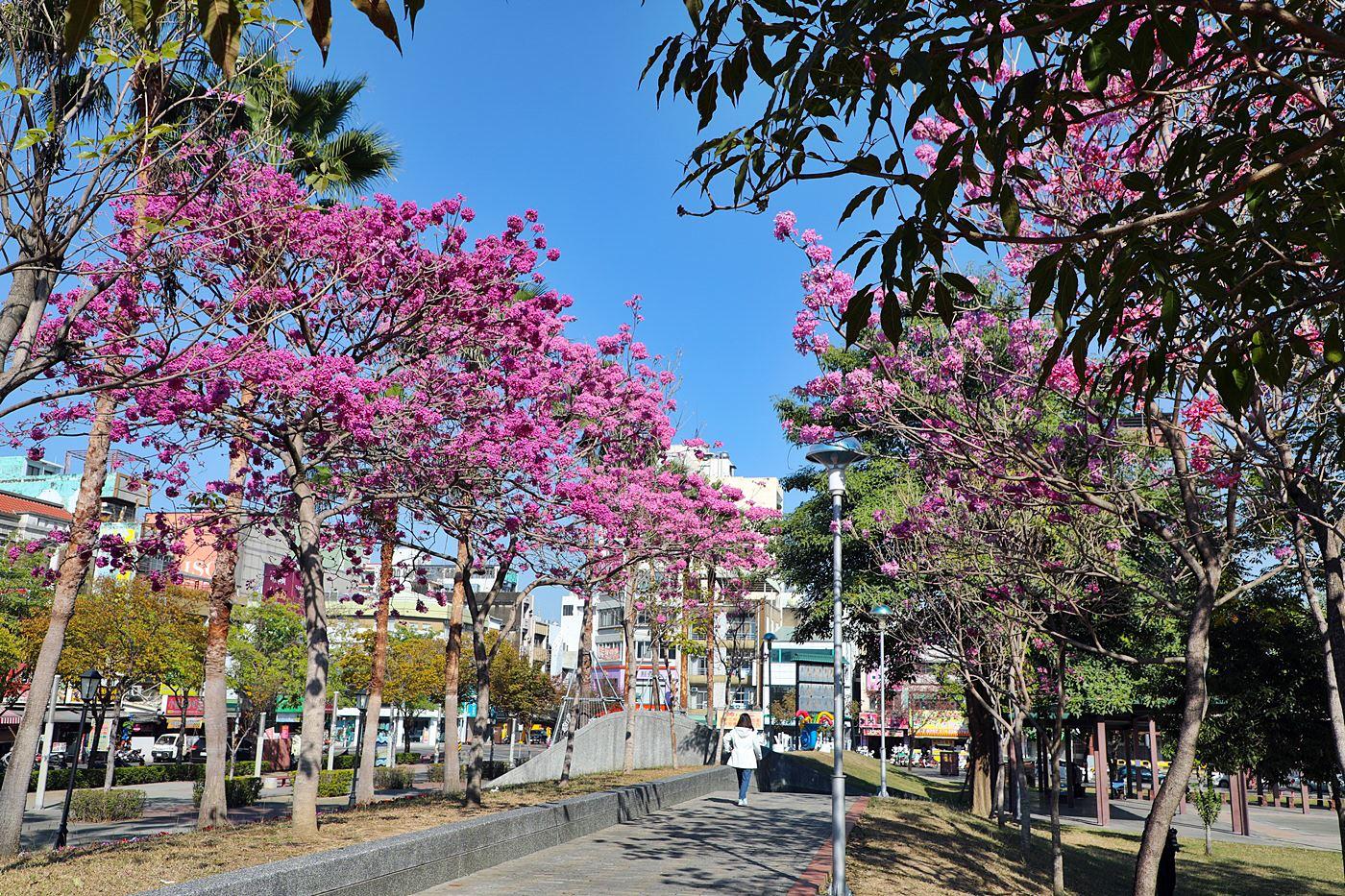 粉紅色的棉花糖花海!洋紅風鈴木提早來中台灣報春