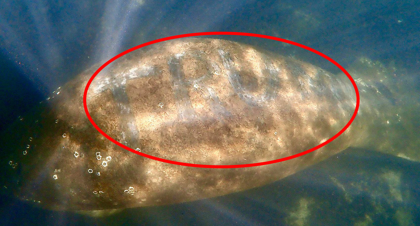 Outrage after manatee found with 'Trump' carved into its back