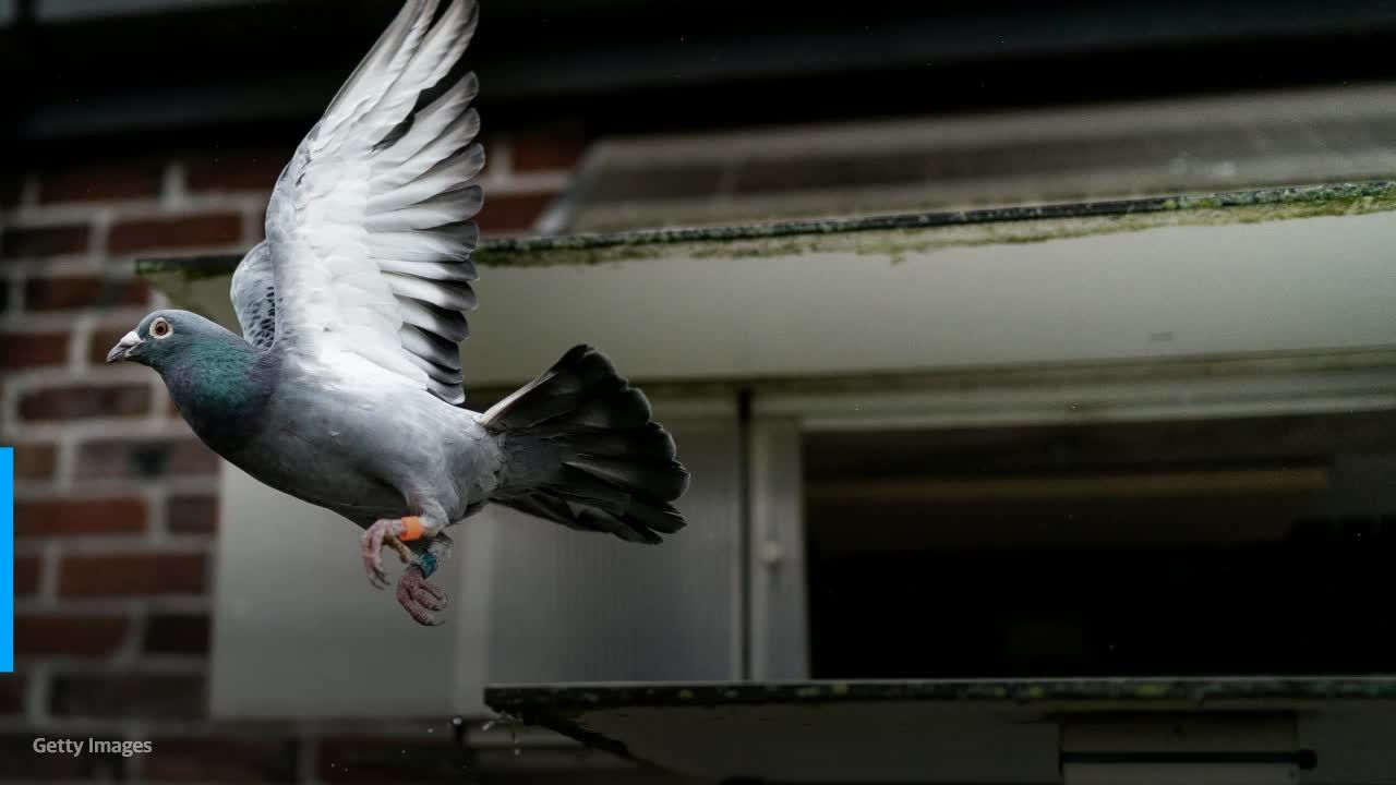 Australia to kill pigeon that made extraordinary journey from Oregon