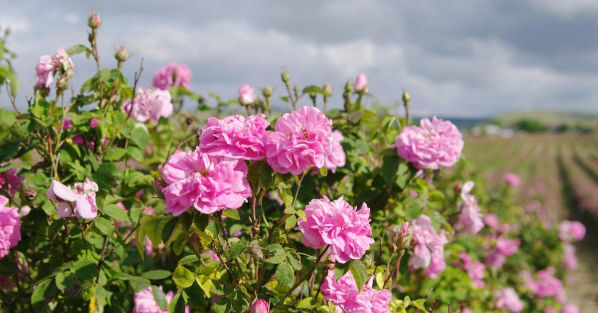和茉莉一樣,需要經過許多繁瑣的工序才能萃取出純度高的玫瑰精油,因此有著「精油之后」的美名!