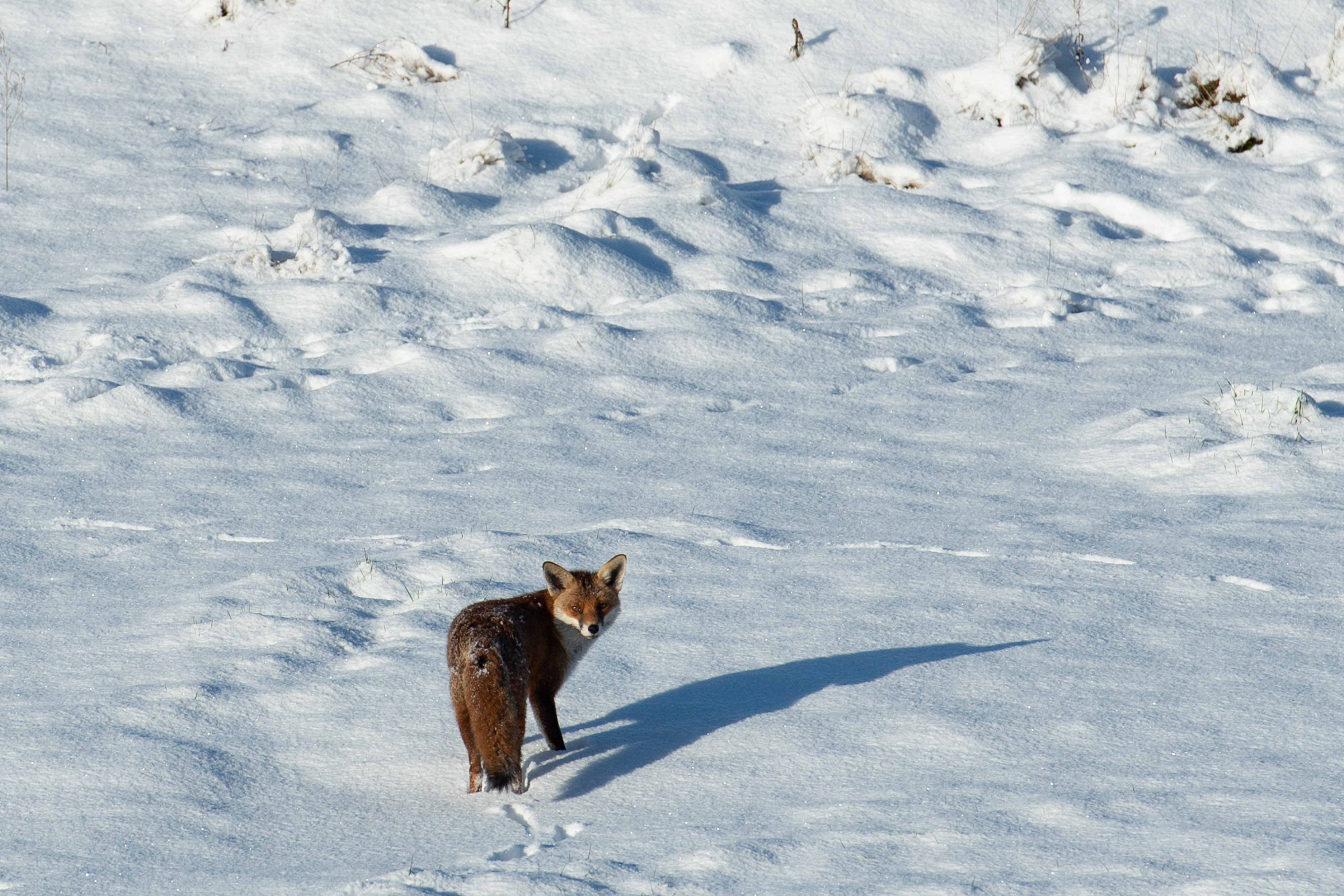 A fox walks around the Black Country Living Museum in Dudley, which has previously been used as a set for the BBC drama Peaky Blinders, and is now being used as a covid vaccination centre. Picture date: Monday January 25, 2021. (Photo by Jacob King/PA Images via Getty Images)