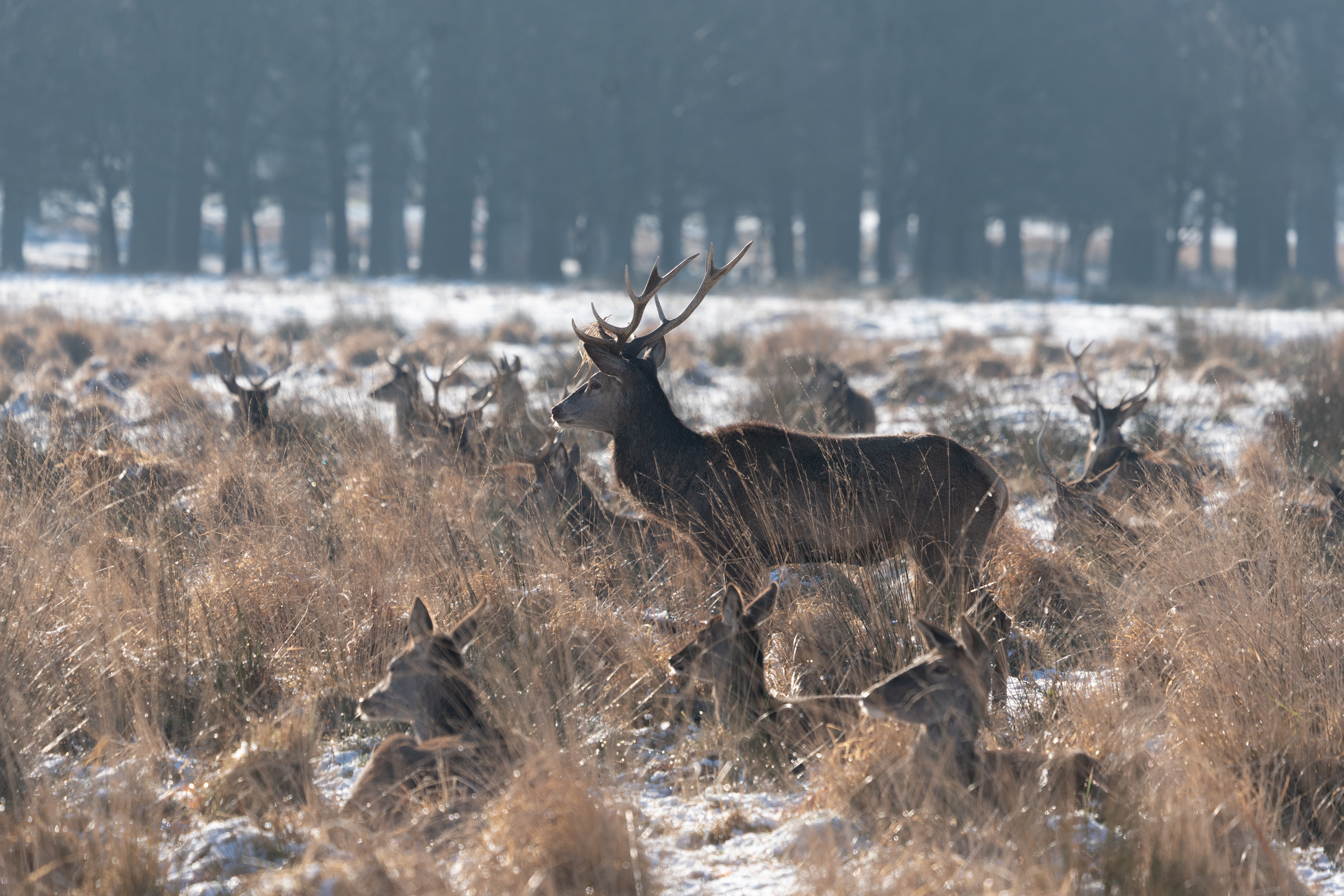 Red deer in Richmond Park, London. Picture date: Monday January 25, 2021. (Photo by Dominic Lipinski/PA Images via Getty Images)