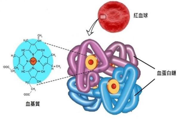 紅血球中的血色素可分為血基質(Heme)及血蛋白鏈(Globin chain)這兩個結構