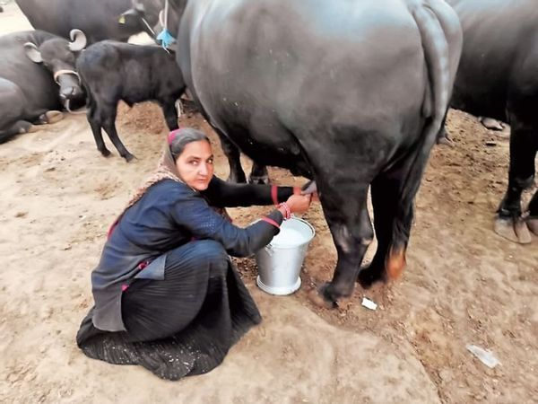 Photo of Gujarat woman, 62, turns milk entrepreneur; earns Rs 1cr profit in a year