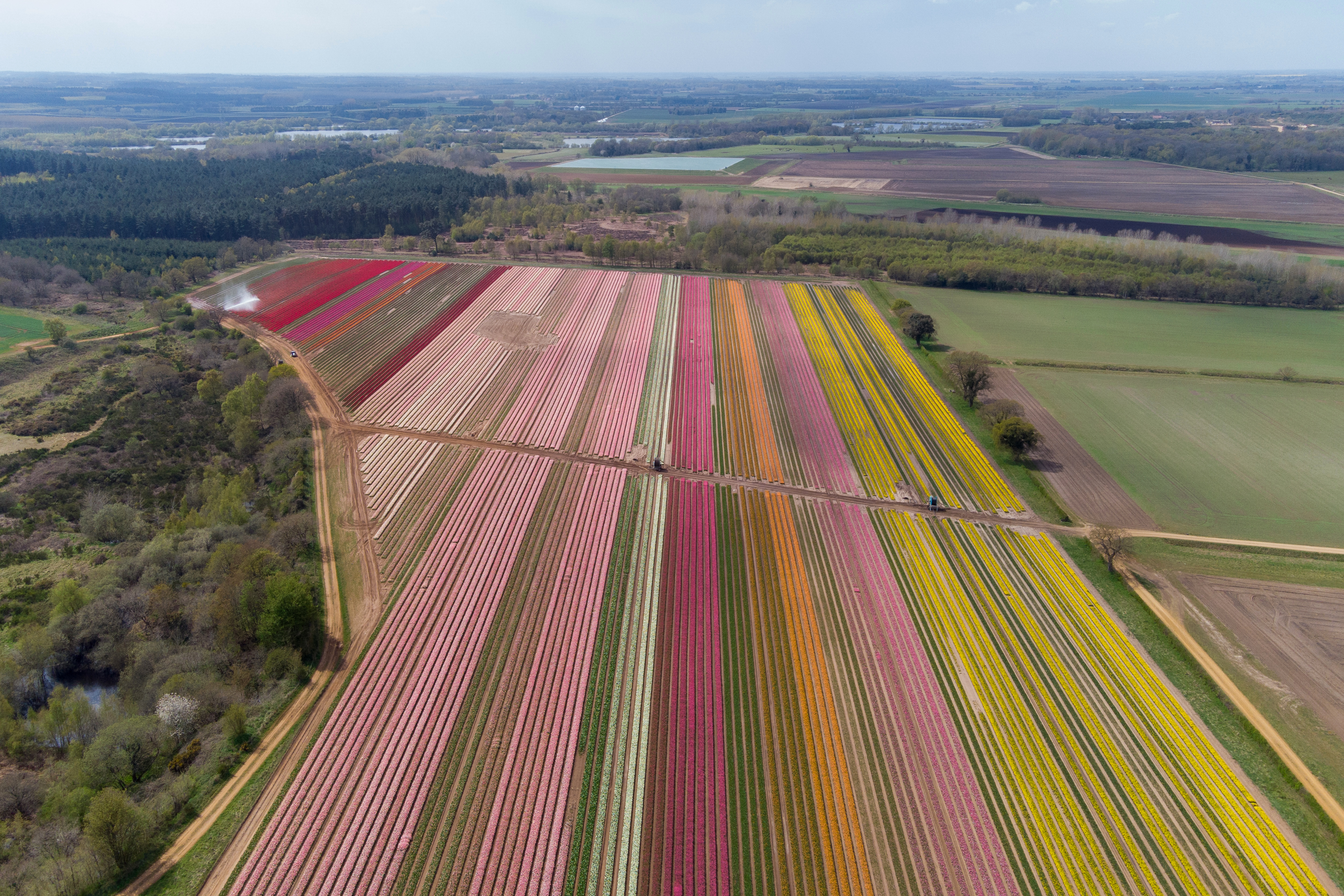 <p>Millions of tulips in flower near King's Lynn in Norfolk, as Belmont Nurseries, the UK's largest commercial grower of outdoor tulips, offers socially-distanced visits to its tulip fields at Hillington to raise funds for local charity The Norfolk Hospice Tapping House. Picture date: Wednesday April 28, 2021.</p>