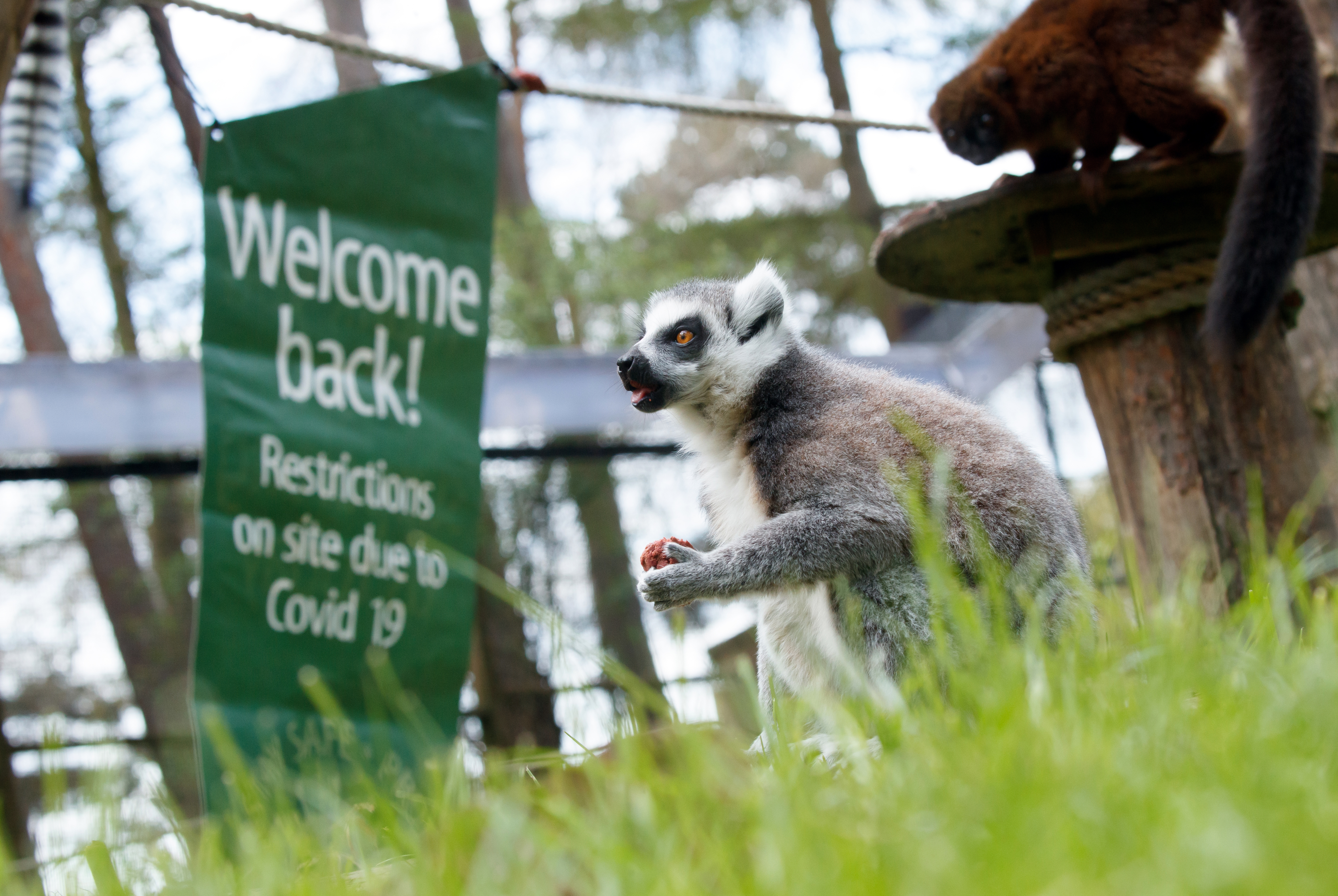 """<p>A Lemur near a """"welcome back"""" sign at Yorkshire Wildlife Park, where staff are preparing the attraction ahead of reopening to the public on the 12th April when further lockdown restrictions are eased. Picture date: Wednesday April 7, 2021.</p>"""