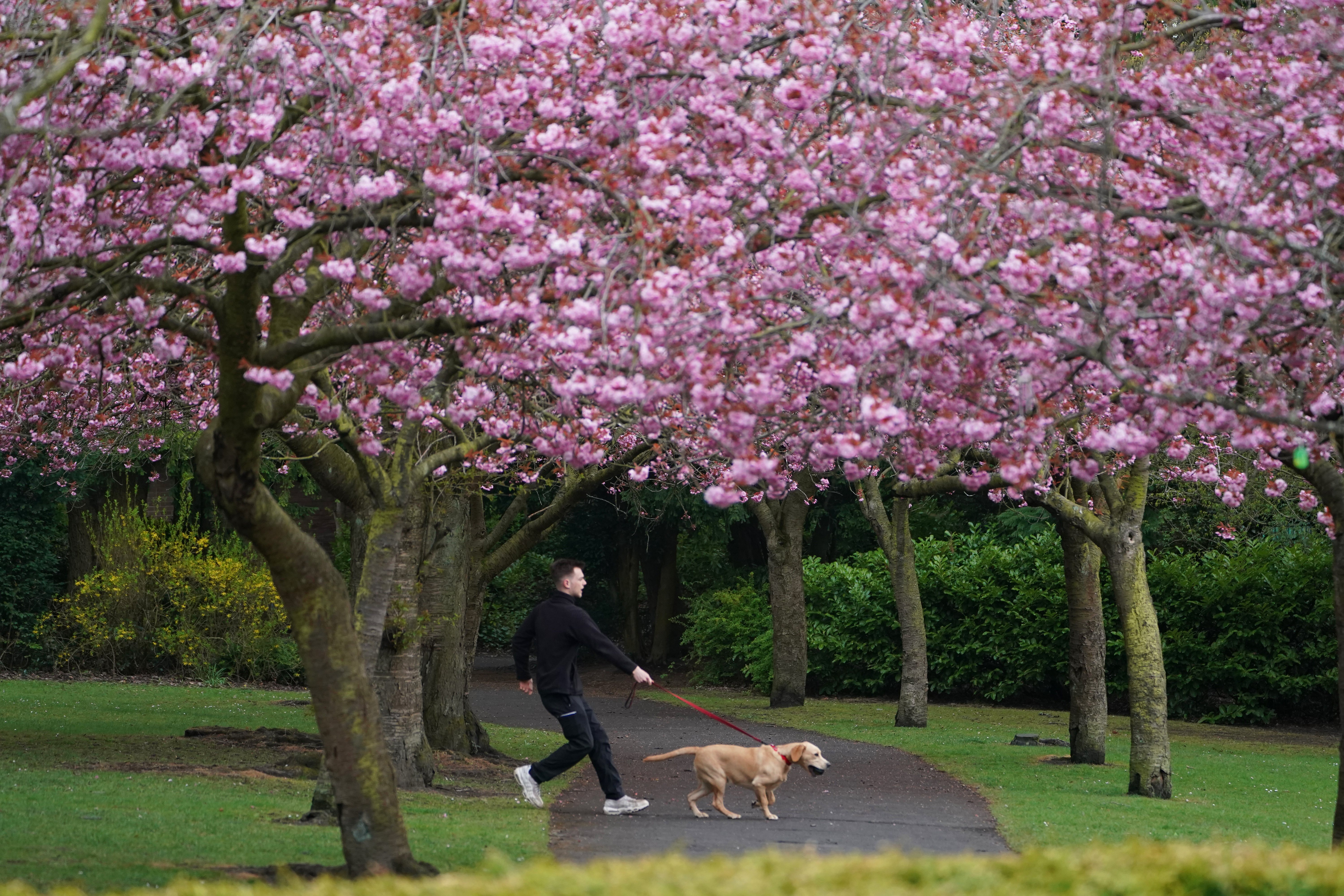 <p>Cherry blossom at Saltwell Park in Gateshead today. Picture date: Wednesday April 28, 2021.</p>